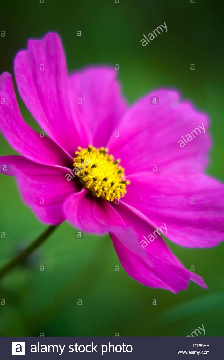 Plante jardin automne Octobre Cosmos bipinnatus portrait plante rose ...