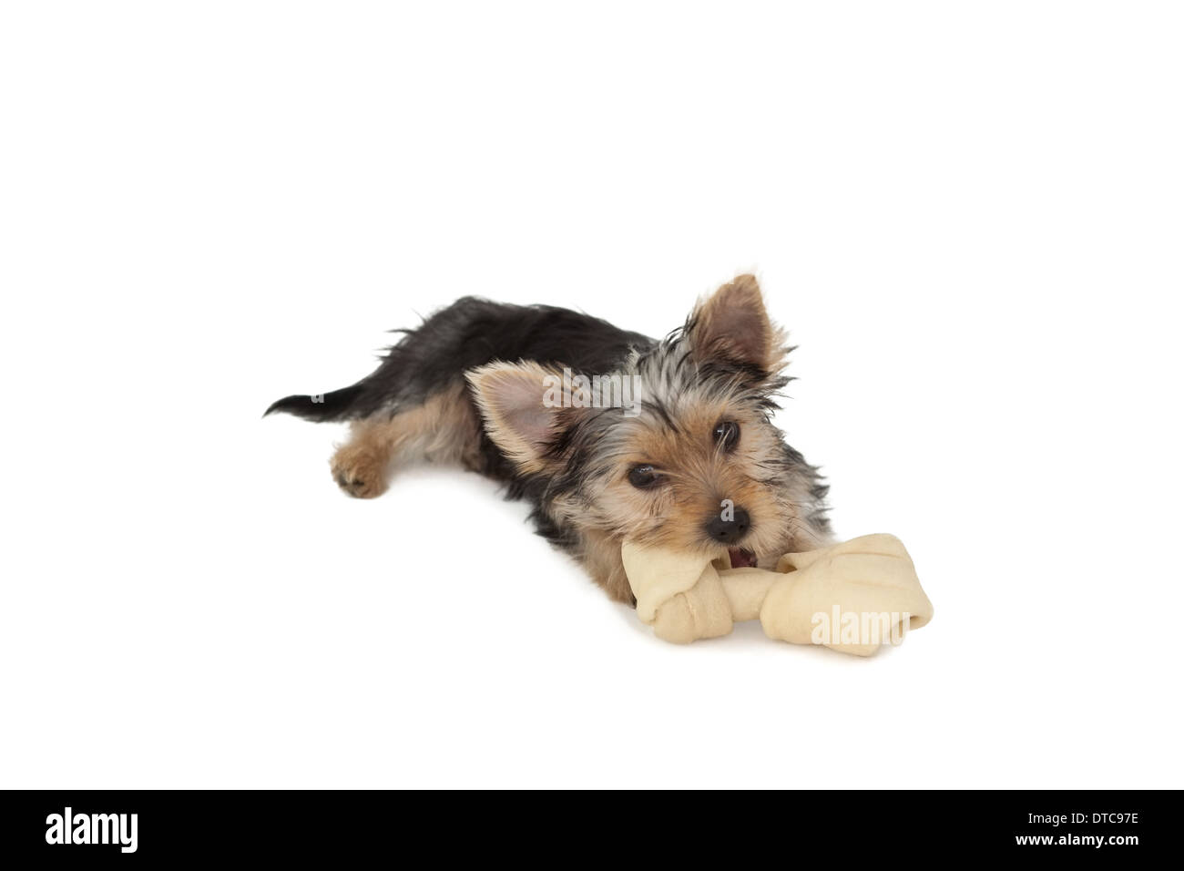 Yorkshire Terrier puppy mâchonnant sur un os Photo Stock