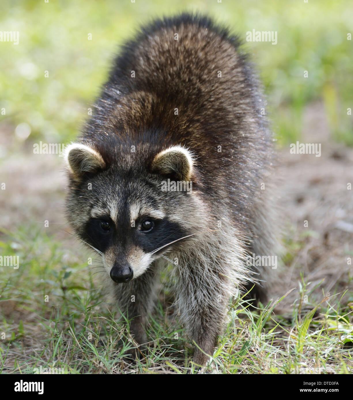Jeune raton laveur,Close Up Shot Photo Stock