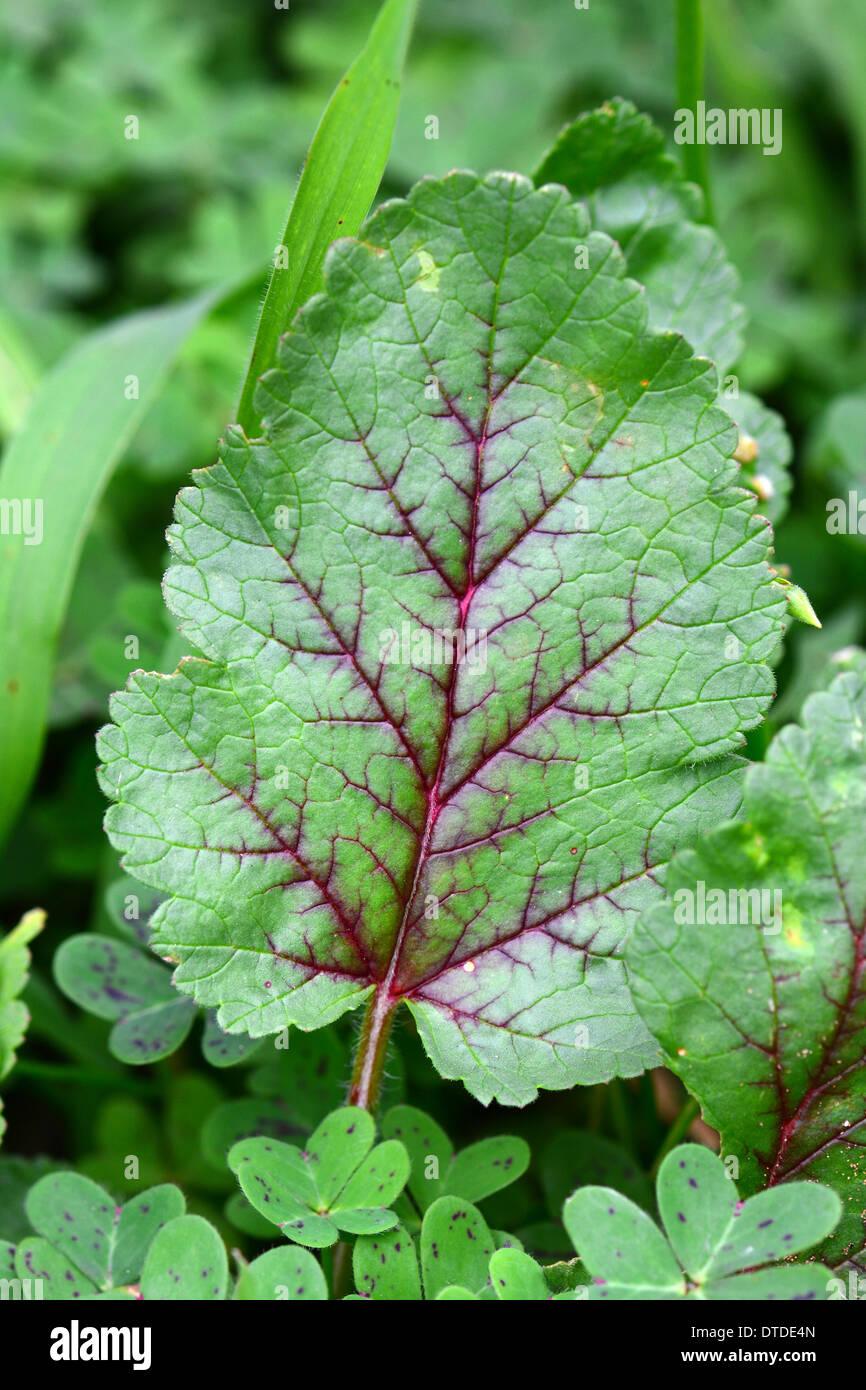 Nervures des feuilles vertes en croissance au printemps Photo Stock