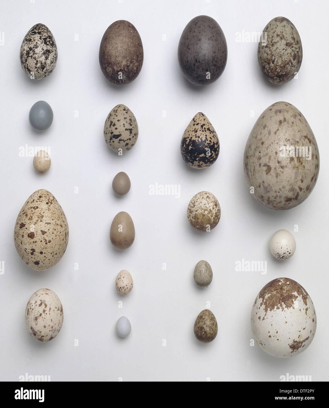Une collection de 20 oeufs d'oiseaux Photo Stock