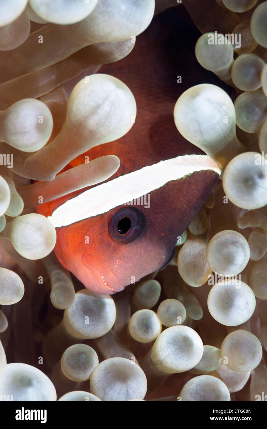 Un poisson de l'anémone clown tropical se trouve au sein des tentacules d'une anémone hôte Photo Stock