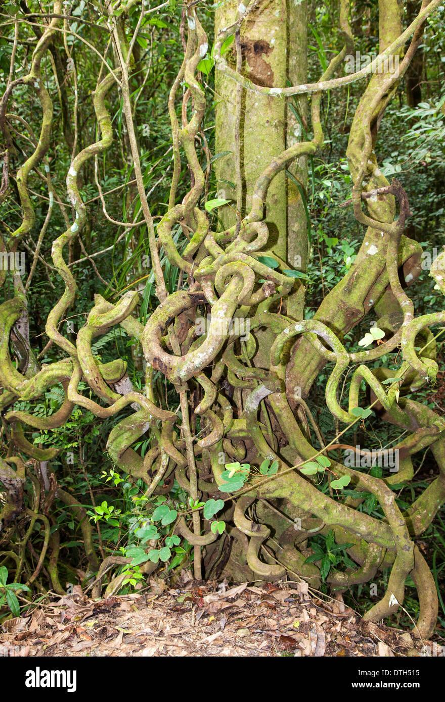 Crazy racines dans le Mont Kinabalu Park, Bornéo, Malaisie Photo Stock