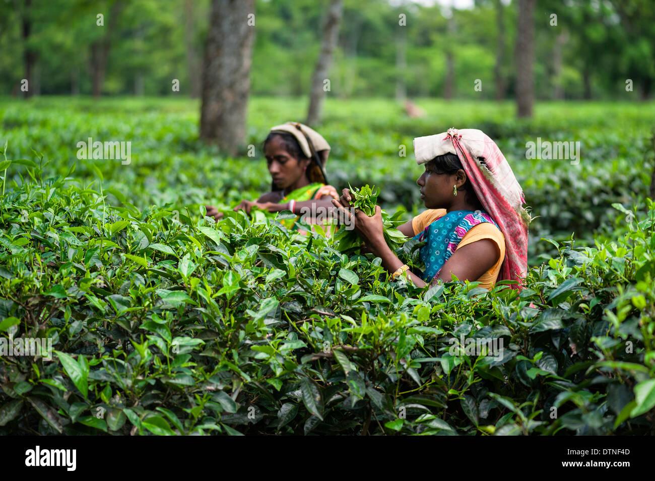 Les cueilleurs de thé feuilles de thé de la récolte sur une grande plantation de thé le 25 août 2011 près de Jorhat, Assam, Inde. Photo Stock