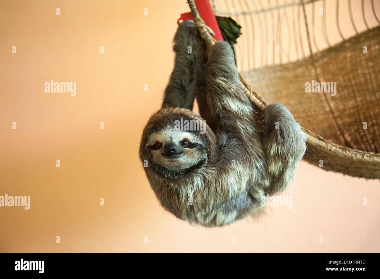 A sauvé trois-toed Sloth (Bradypus variegatus) accroché à la panier Sloth Sanctuary du Costa Rica Photo Stock