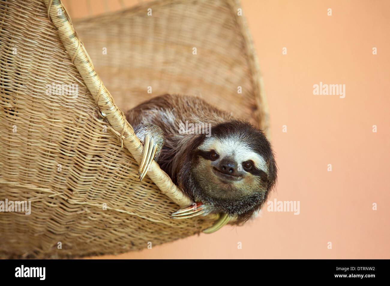 A sauvé trois-toed Sloth (Bradypus variegatus) à la paresse Sanctuaire de Costa Rica Photo Stock