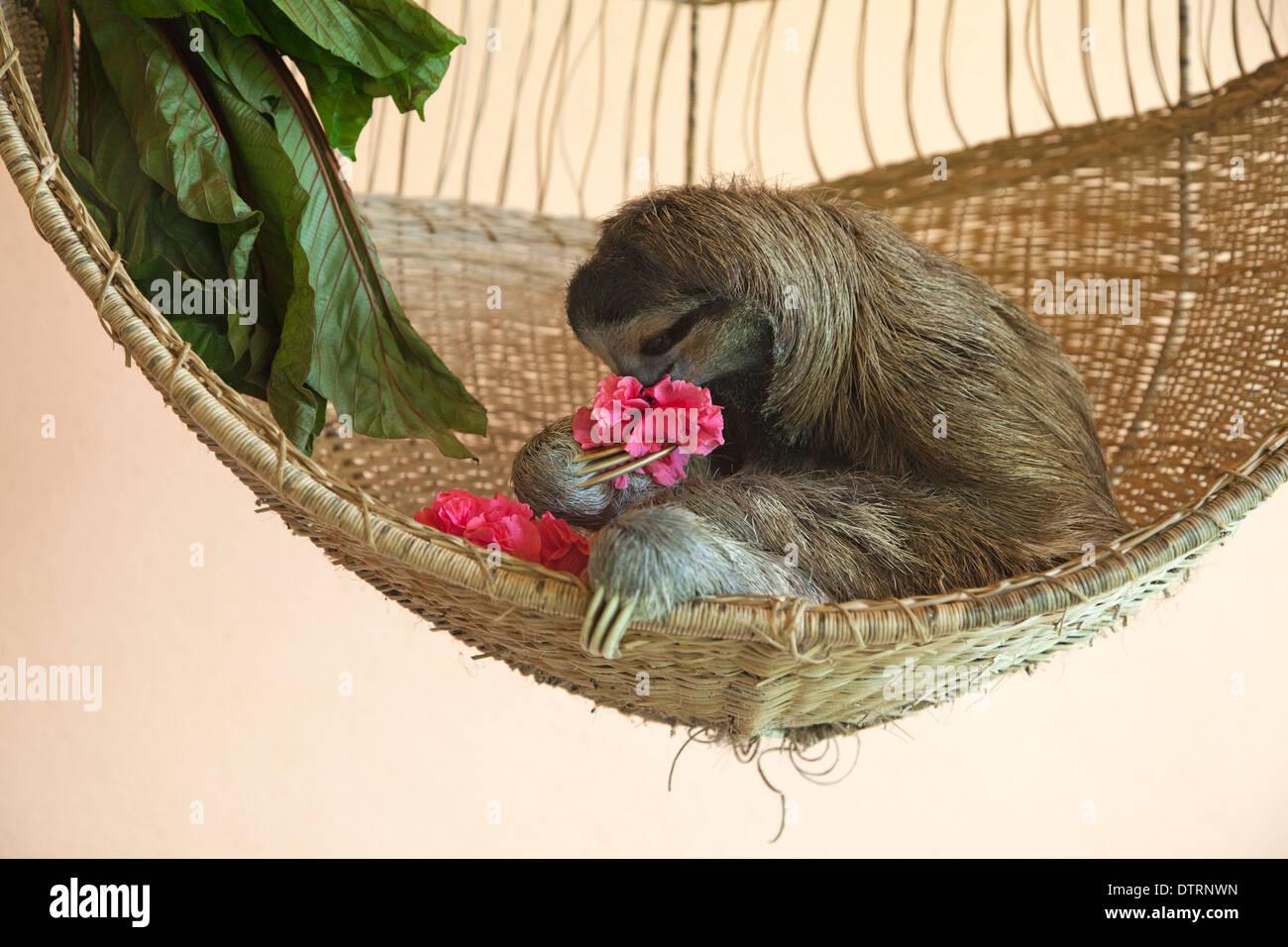 A sauvé trois-toed Sloth (Bradypus variegatus) manger une fleur d'hibiscus, propose de traiter, à l'indolence Sanctuaire de Costa Rica Photo Stock