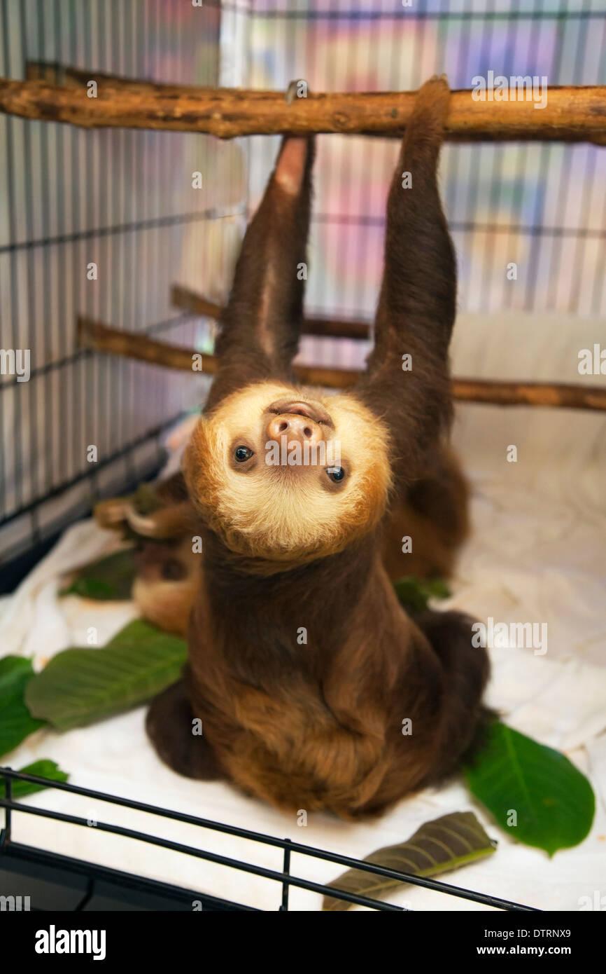 Hoffmann's Deux-toed Sloth bébé (Choloepus hoffmanni) dans la pépinière à Sloth Sanctuary Photo Stock
