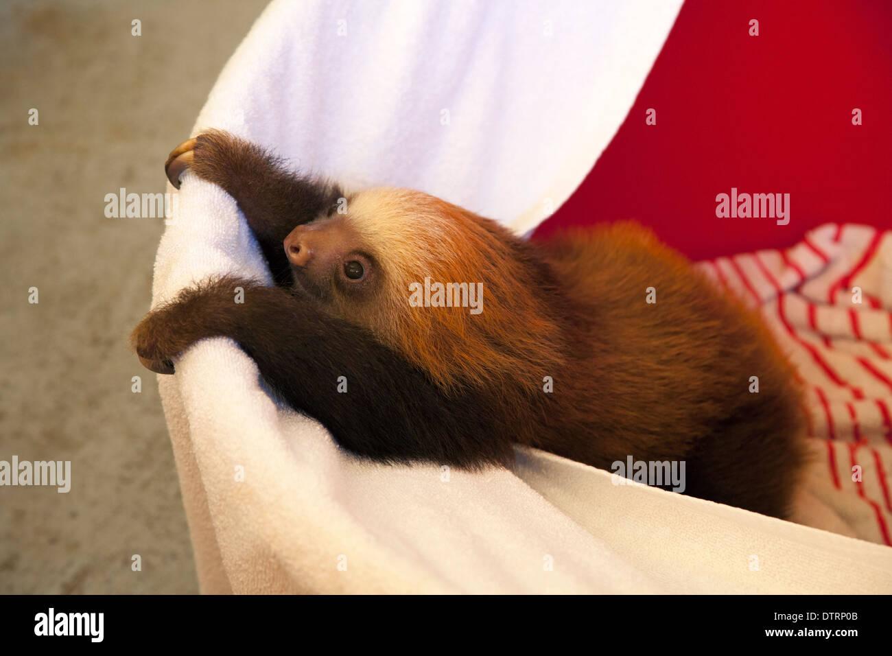 Orphelin bébé Deux Hoffmann-toed Sloth (Choloepus hoffmanni) escalade de godet dans la pépinière Sanctuaire Sloth Photo Stock