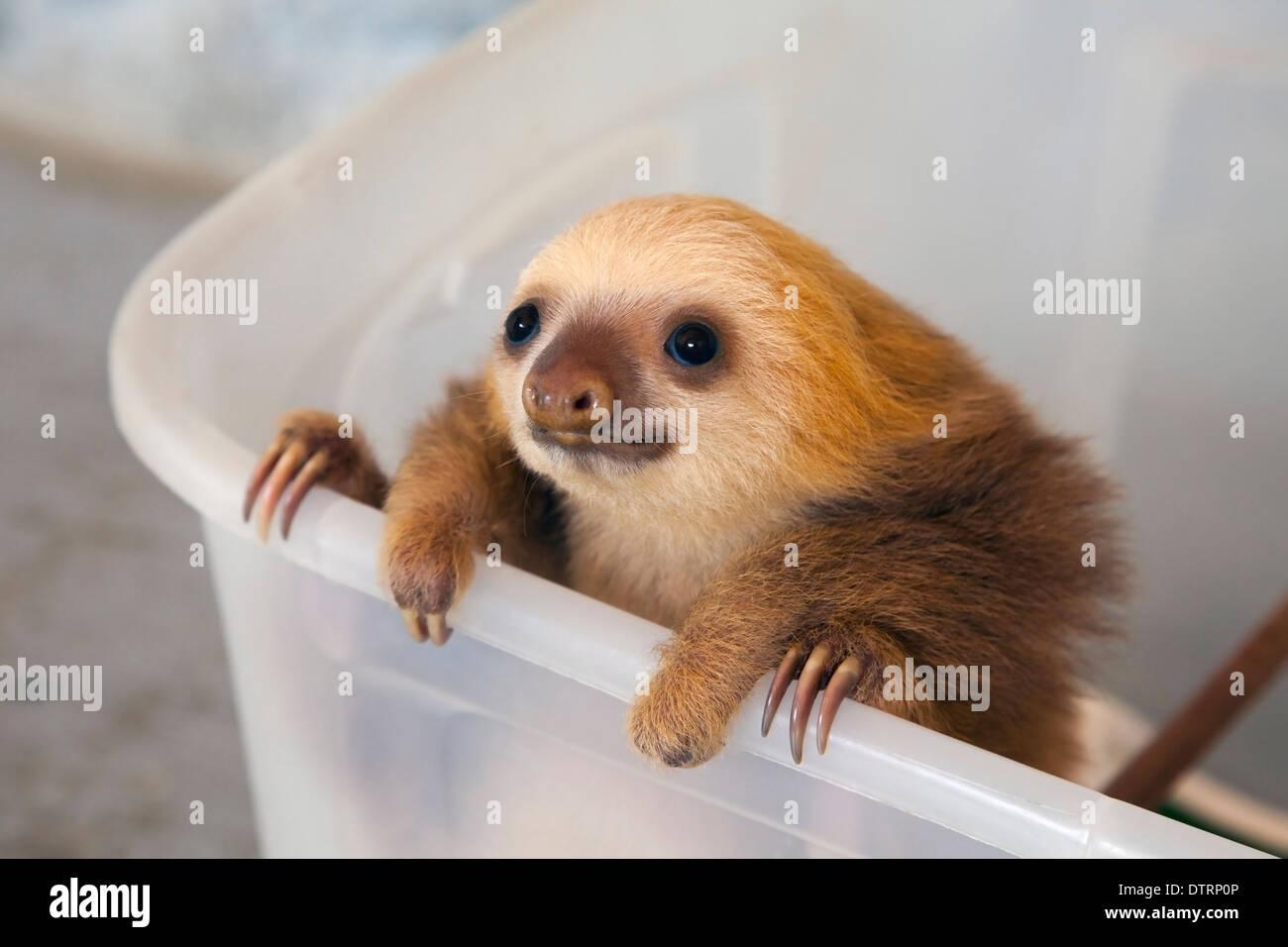 Hoffmann bébé Deux-toed Sloth (Choloepus hoffmanni) dans Sloth Sanctuary nursery Photo Stock