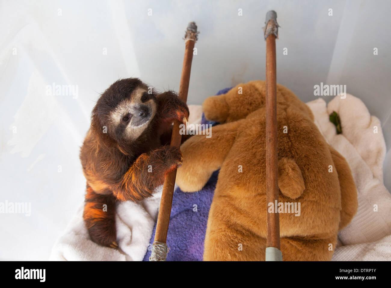 Baby Brown-throated trois-toed Sloth (Bradypus variegatus) dans la pépinière à Sloth Sanctuary Photo Stock