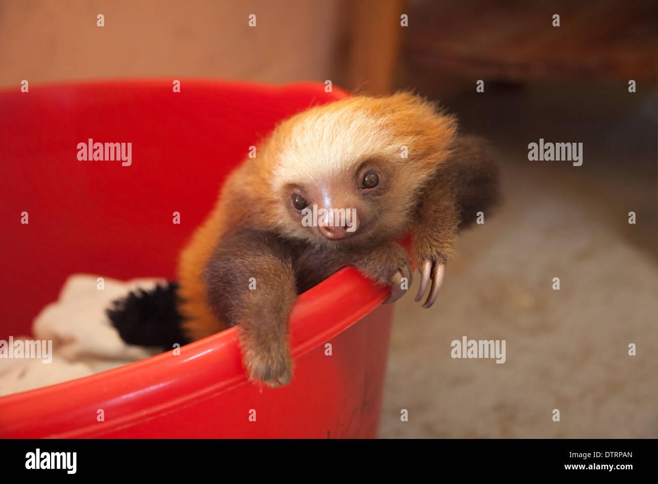 Orphelin bébé Deux Hoffmann-toed Sloth (Choloepus hoffmanni) à la paresse Sanctuaire de Costa Rica Photo Stock
