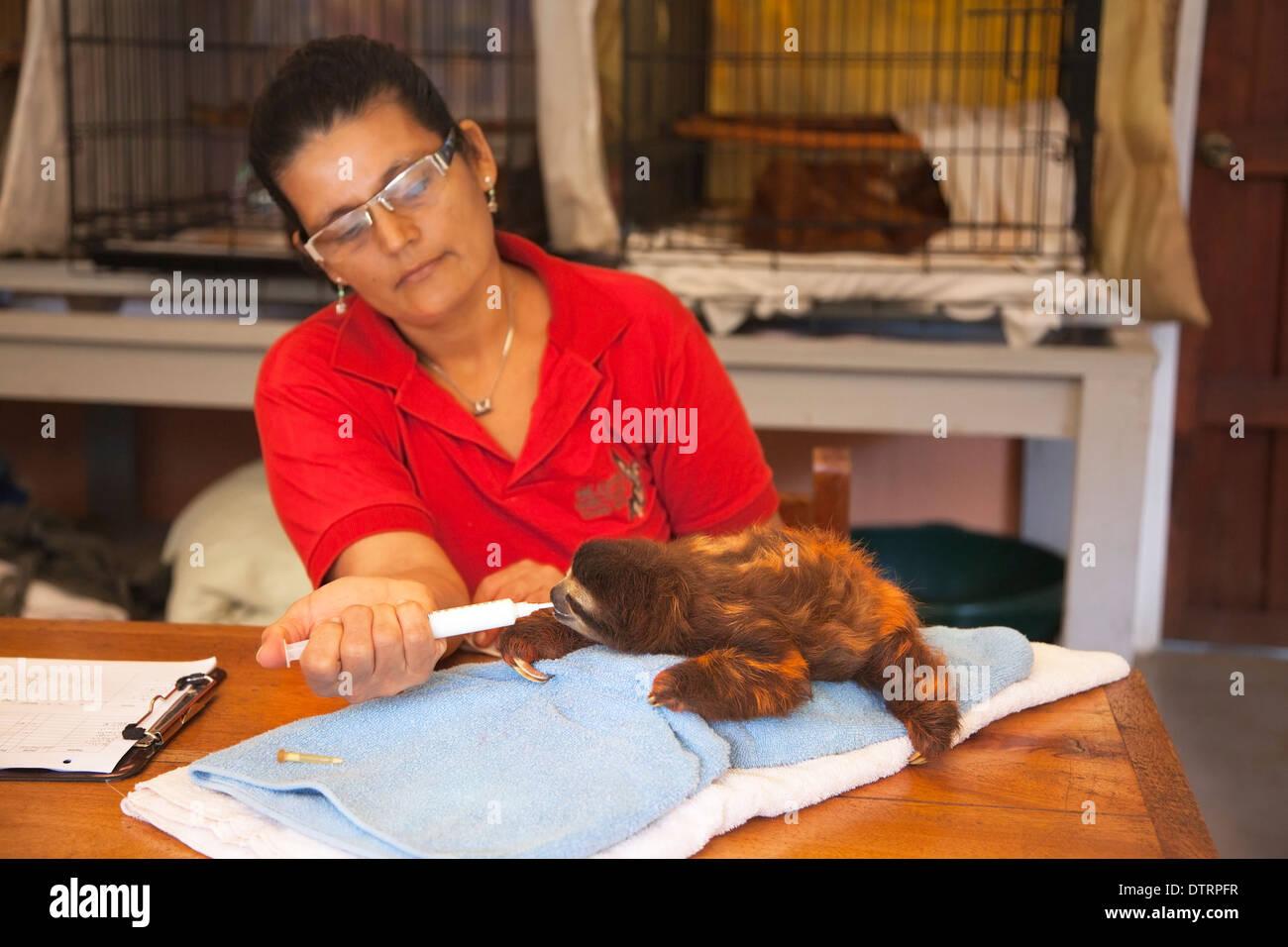 Nourrir bébé gardien orphan Brown-throated trois-toed Sloth (Bradypus variegatus) au moyen d'une seringue à l'Sloth Sanctuary Photo Stock