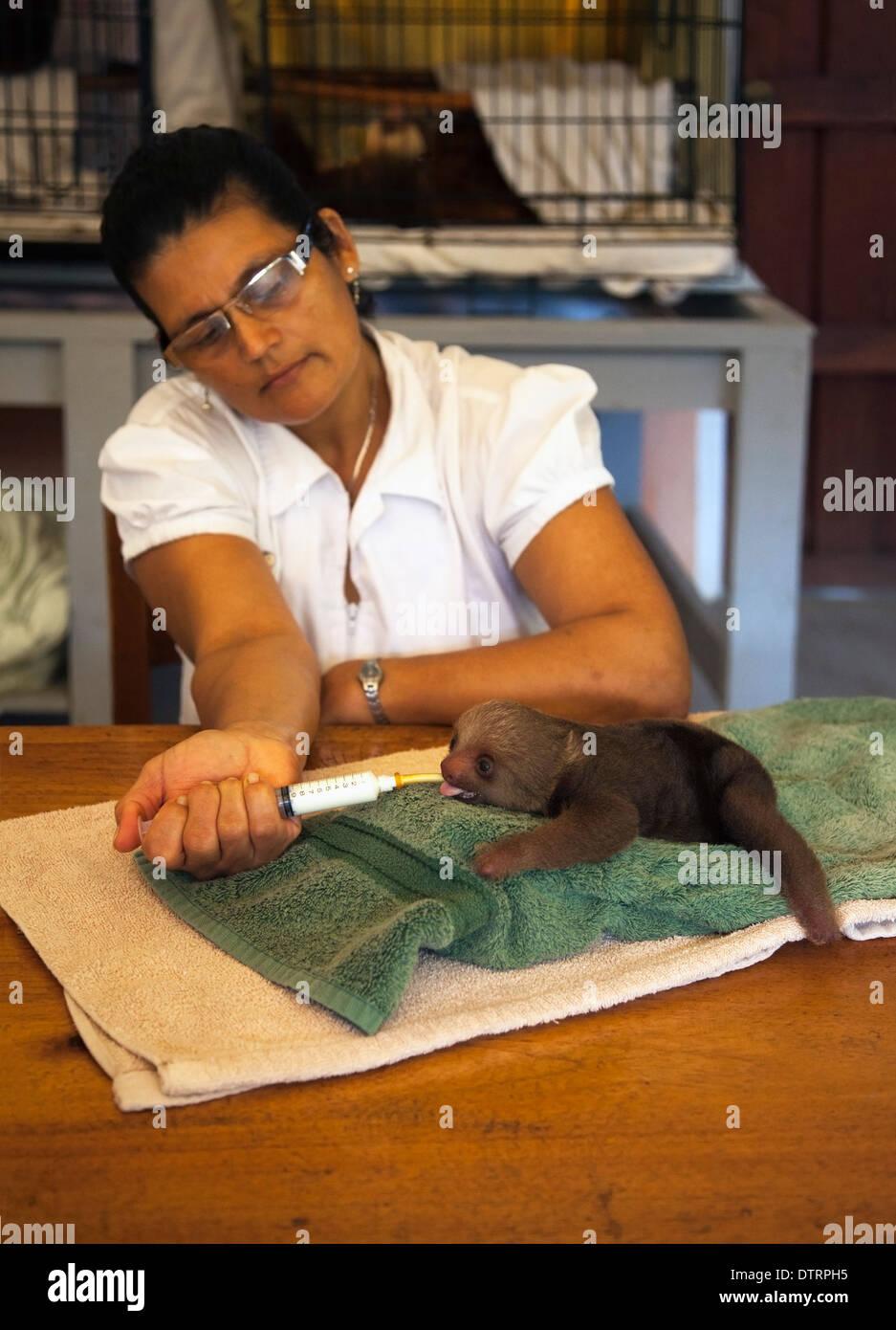 Nourrir bébé gardien Hoffmann orphelin deux-toed Sloth (Choloepus hoffmanni) au moyen d'une seringue à l'Sloth Sanctuary Photo Stock