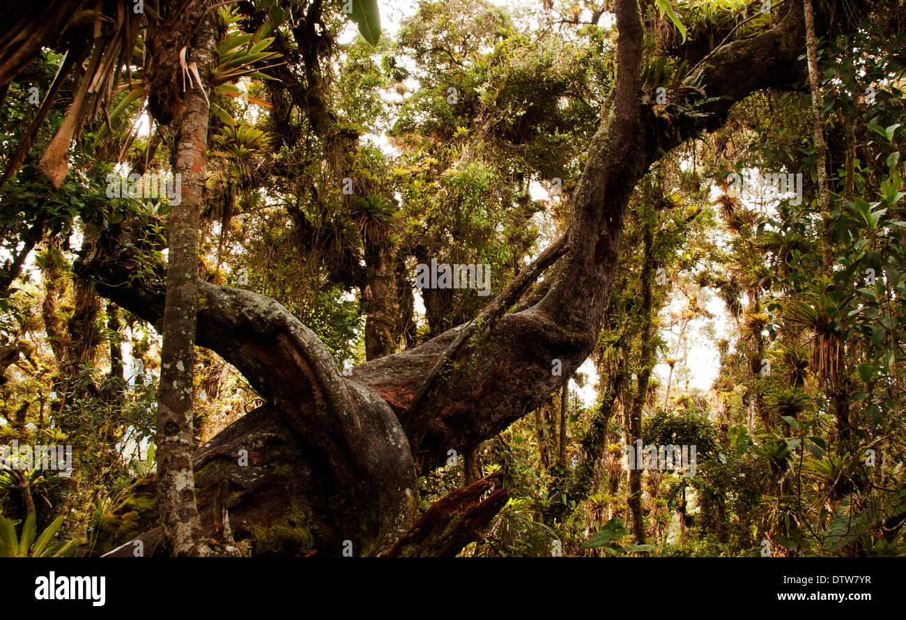 La forêt de nuage est un écosystème de grande valeur pour la biodiversité et rôle hydrologique. L'île de la Corota, Cocha, lac Pasto Photo Stock