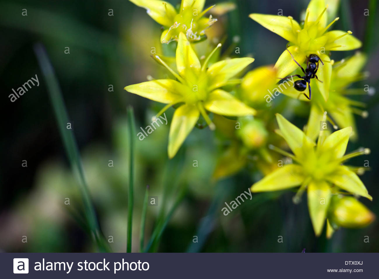Sedum acre jaune et une fourmi Photo Stock