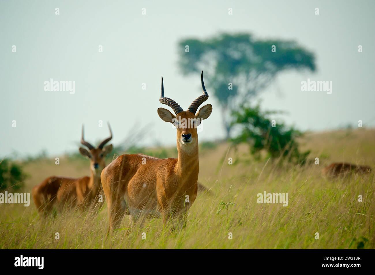 Homme vigilant kobs ougandais (Kobus kob thomasi) sur la savane. Un petit troupeau de kob. Photo Stock
