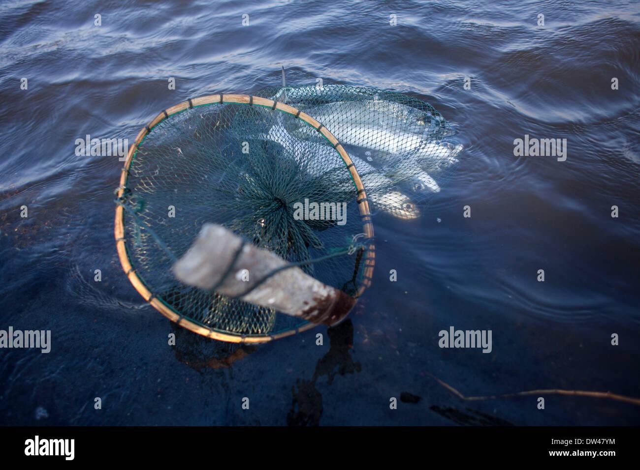 26 févr. 2014 - Banda Aceh, Aceh, Indonésie - les hommes à l'aide de filets de pêche dans un étang à poissons. La production de la pêche de l'Indonésie ont totalisé 15,26 millions de tonnes en 2012, avec la capture sauvage comptant pour 5,81 millions de tonnes et de l'aquaculture pour 9,45 millions de tonnes, selon le Ministère des affaires maritimes et des pêches. L'ORGANISATION DES NATIONS UNIES POUR L'alimentation et l'agriculture (FAO) en 2011 l'Indonésie se classe troisième au monde en termes de prises marines et intérieures ainsi que quatrième dans l'aquaculture de la production. Les exportations de la pêche a fortement augmenté ces dernières années et ont atteint 3,9 milliards USD en 2012, avec la plupart des expéditions aux États-Unis Banque D'Images