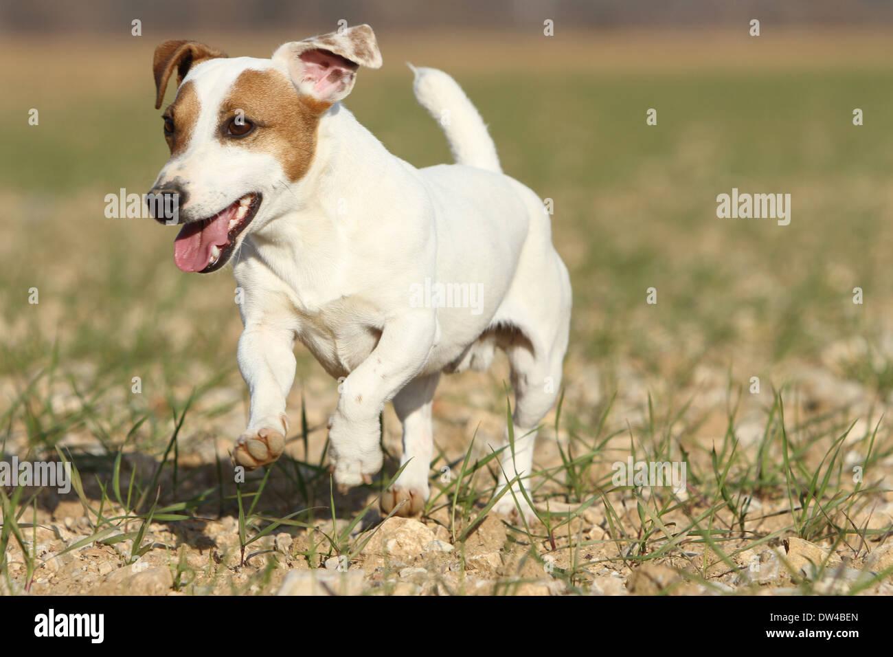 Chien Jack Russel Terrier / Adulte S'exécutant Dans Un Champ Banque D'Images, Photo Stock