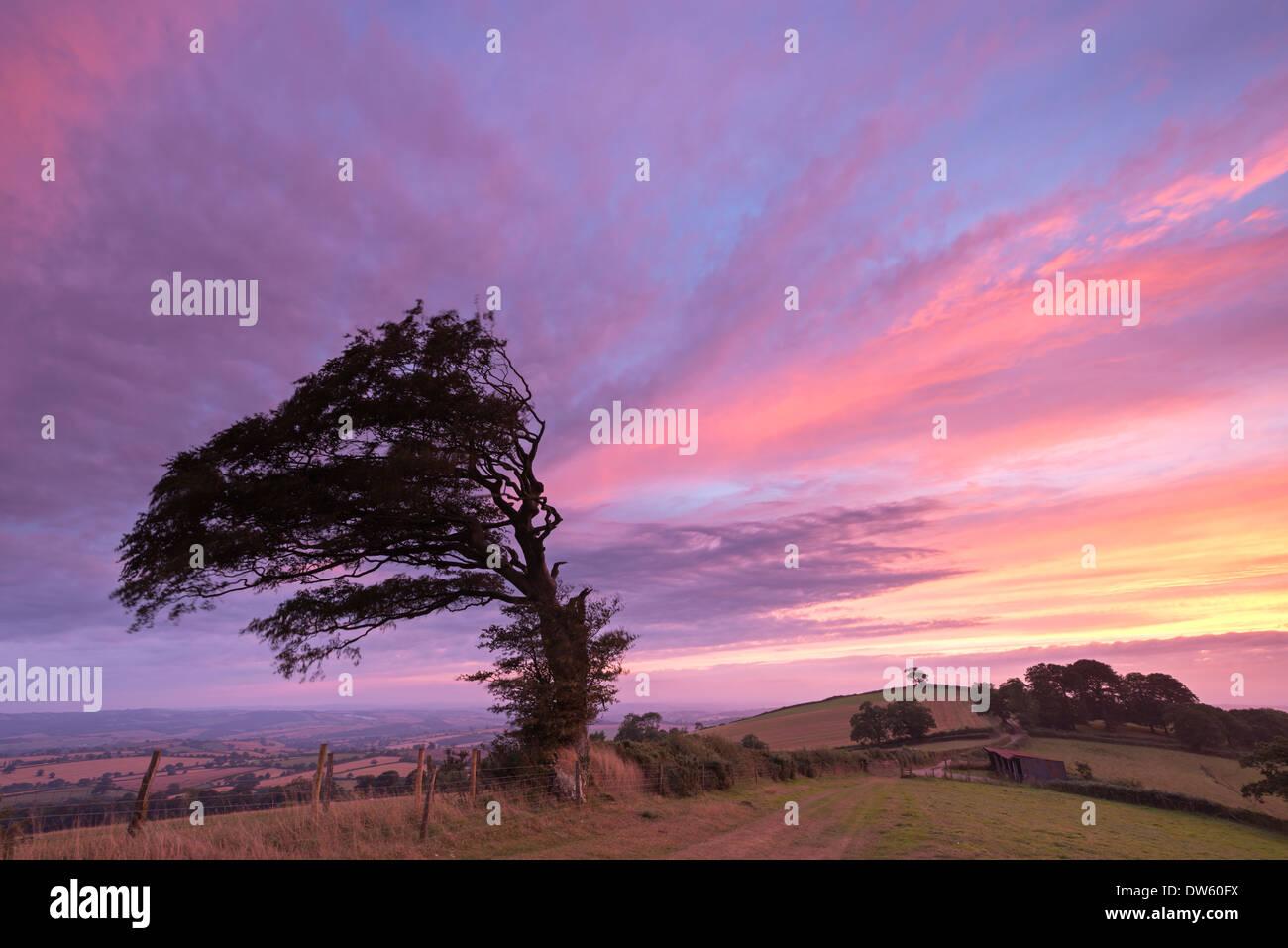 Arbre balayées par soutenue par un coucher de soleil spectaculaire, Raddon Hill, Devon, Angleterre. L'été (septembre) 2013. Photo Stock