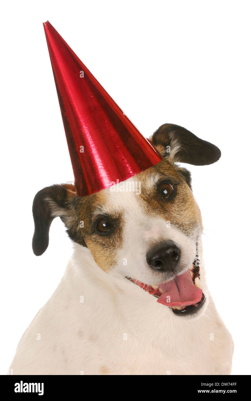 Joyeux Anniversaire Chien Jack Russel Terrier Wearing Red Birthday