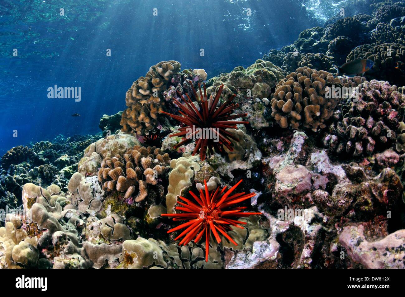 Santé des récifs de corail avec un crayon rouge, de l'oursin Heterocentrotus mamillatus, Molokini, Maui, Hawaii, USA Photo Stock