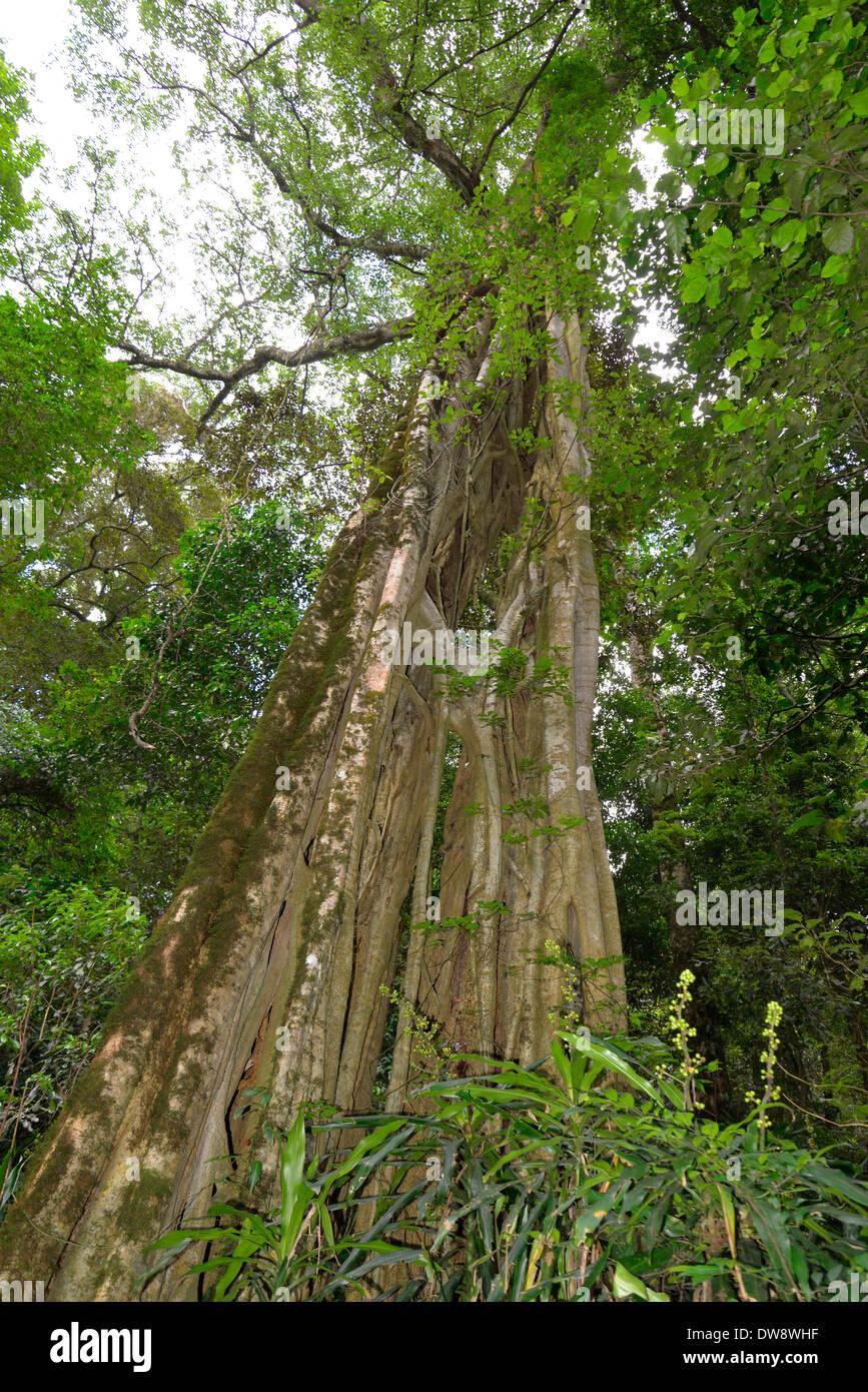 Mont Selinda Afro-forêt de montagne dans la région de eastern highlands du Zimbabwe en Afrique centrale. Photo Stock