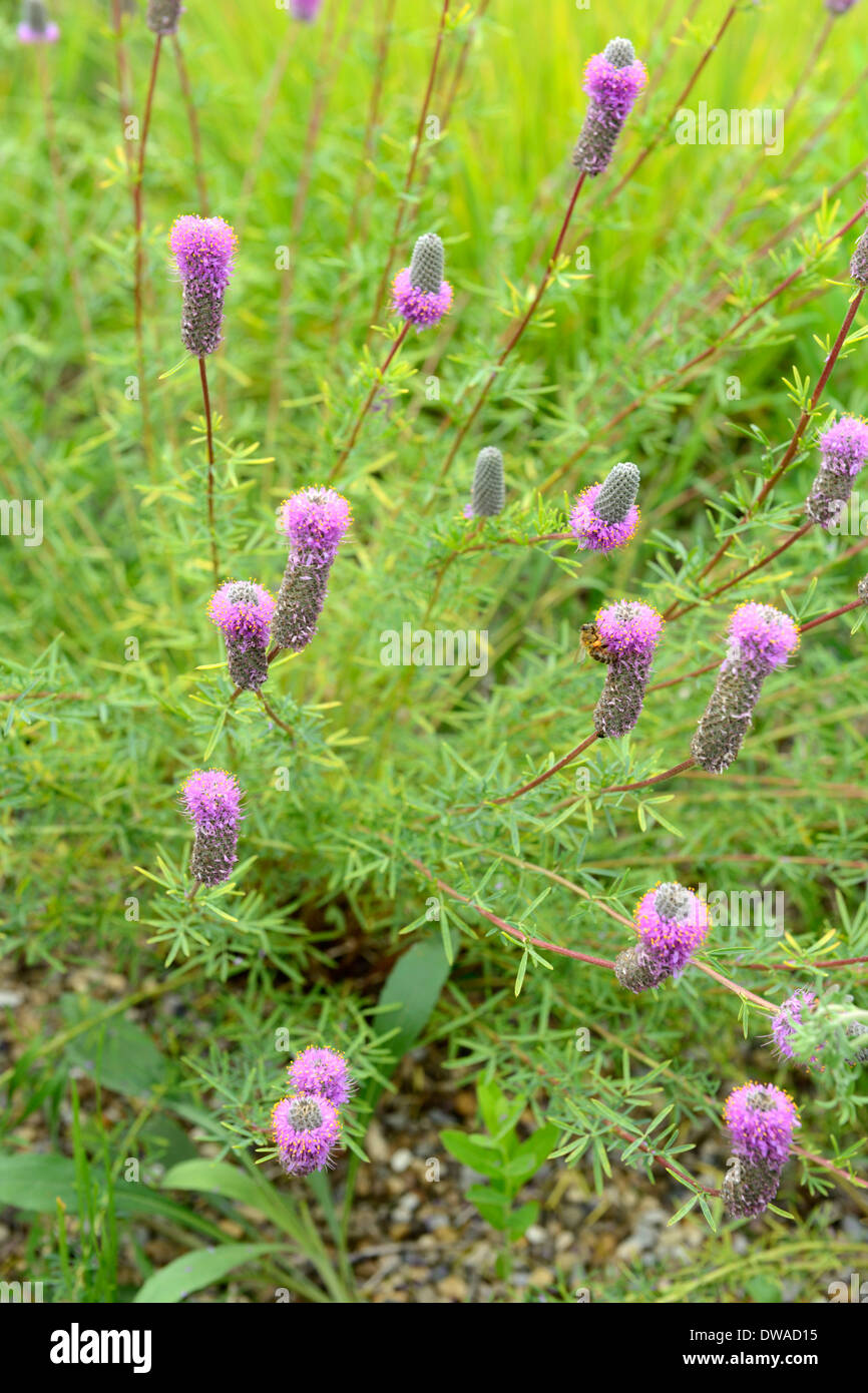 Girofle Prairie violet Photo Stock