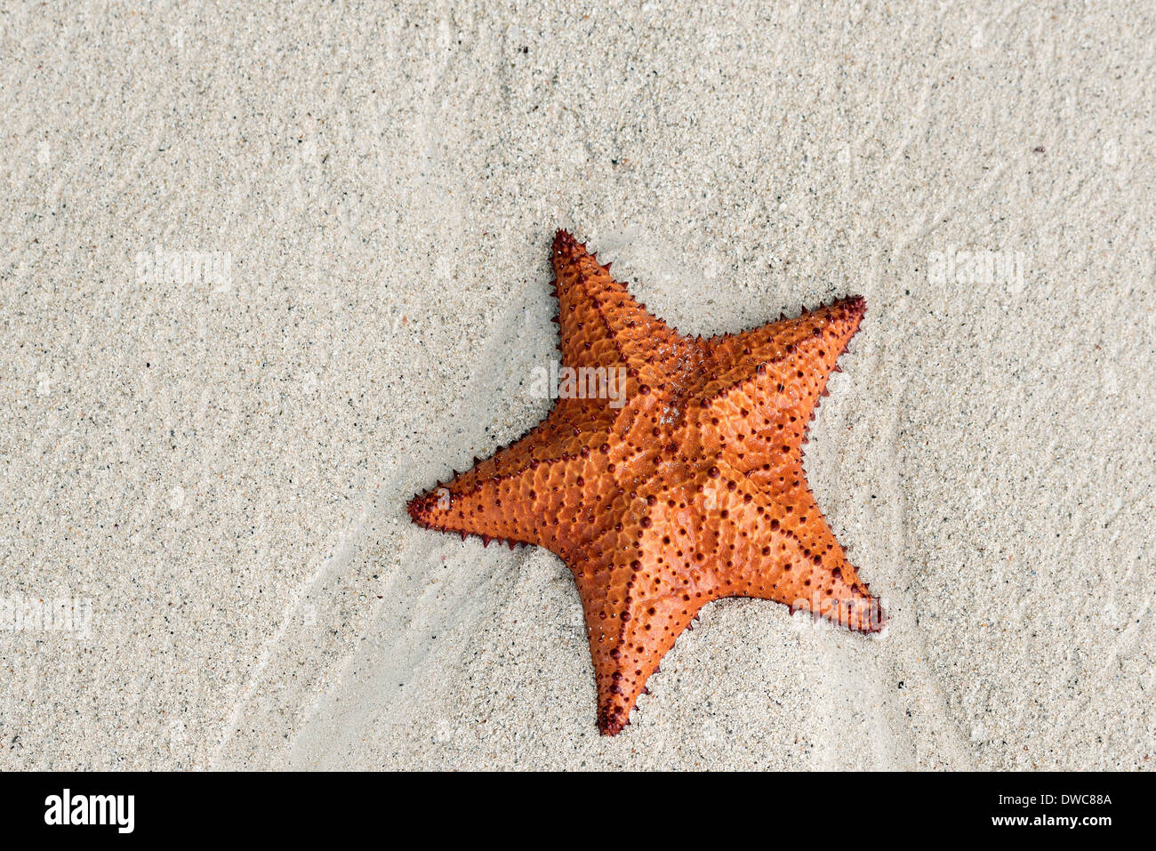 Étoile de mer du coussin sur plage, negril, jamaïque banque d'images