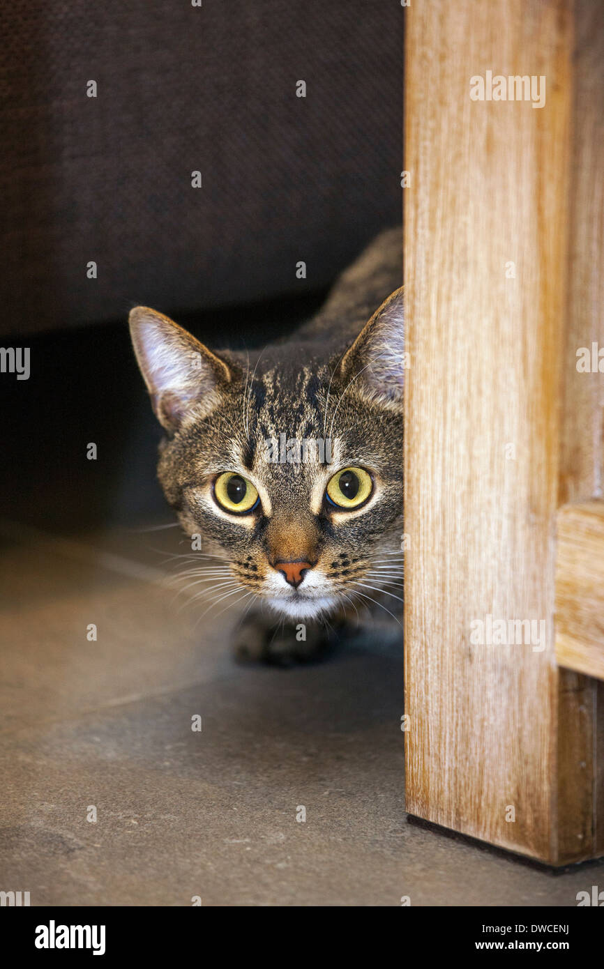 Timide mais curieux chat tigré domestique de furtivement derrière les meubles dans la salle de séjour en chambre Photo Stock