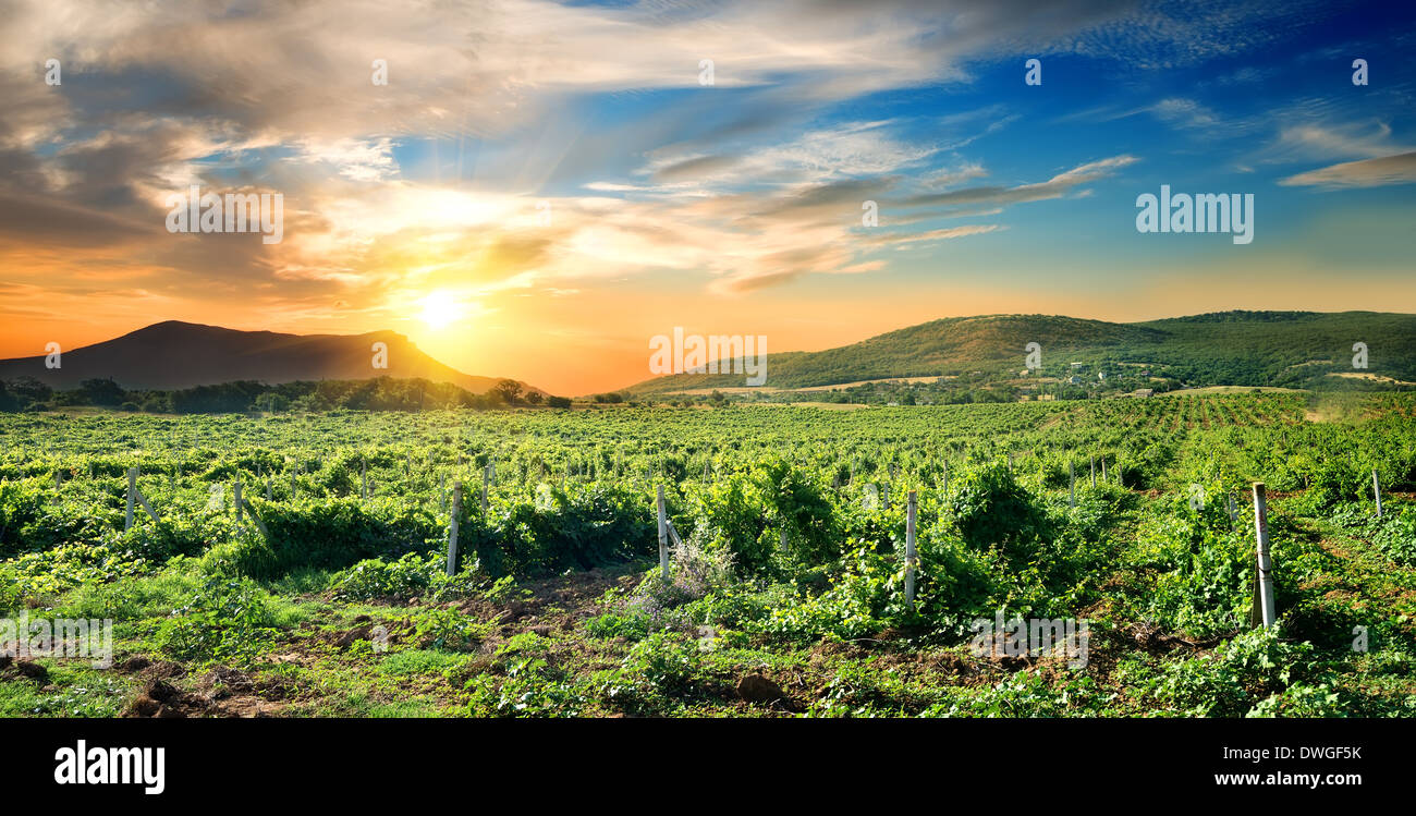 Vignoble verdoyant au sunrise en Crimée Photo Stock