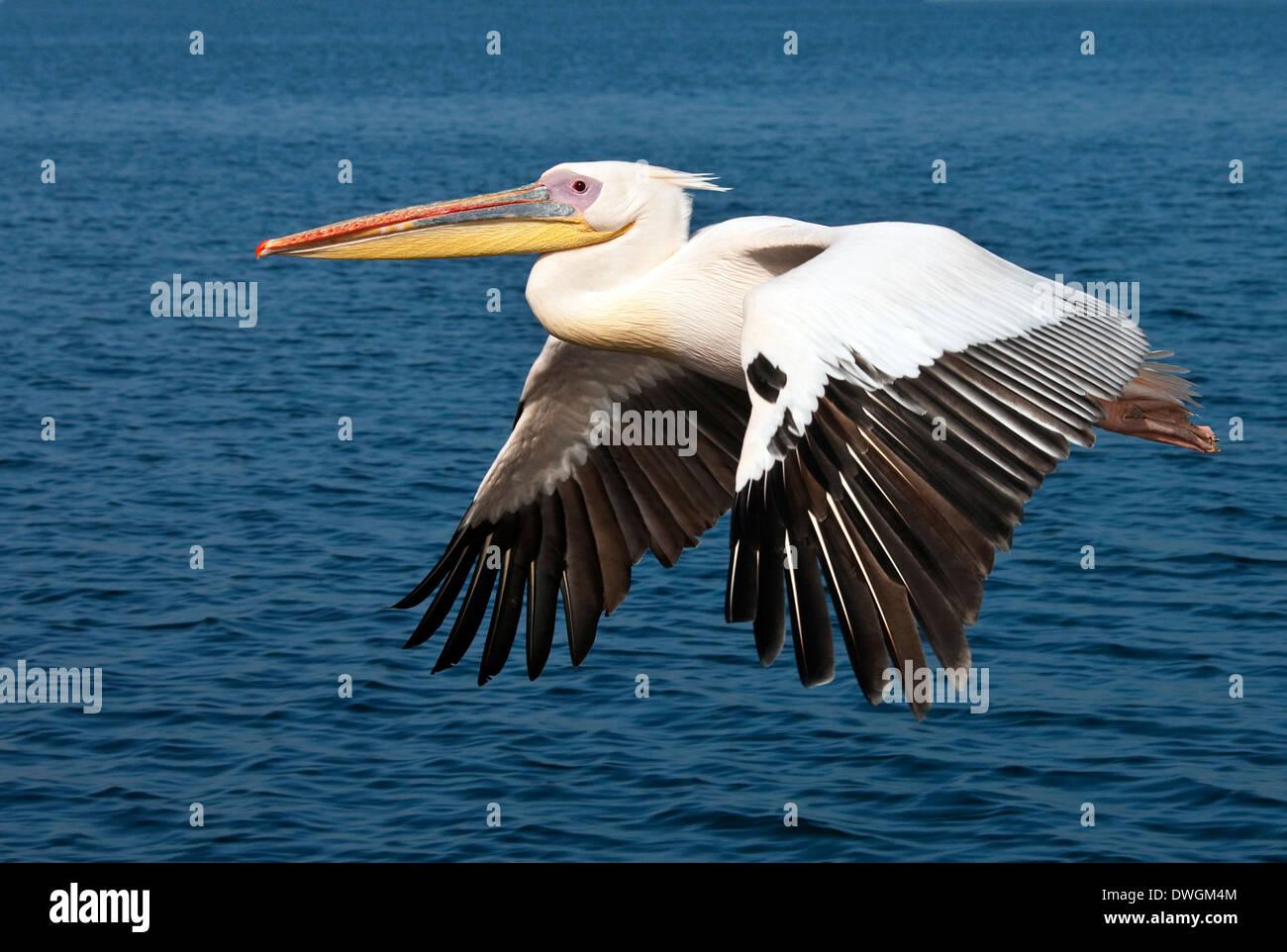 Un grand Pélican blanc (Pelecanus onocrotalus) en vol au dessus de la mer près de la côte de la Namibie Photo Stock