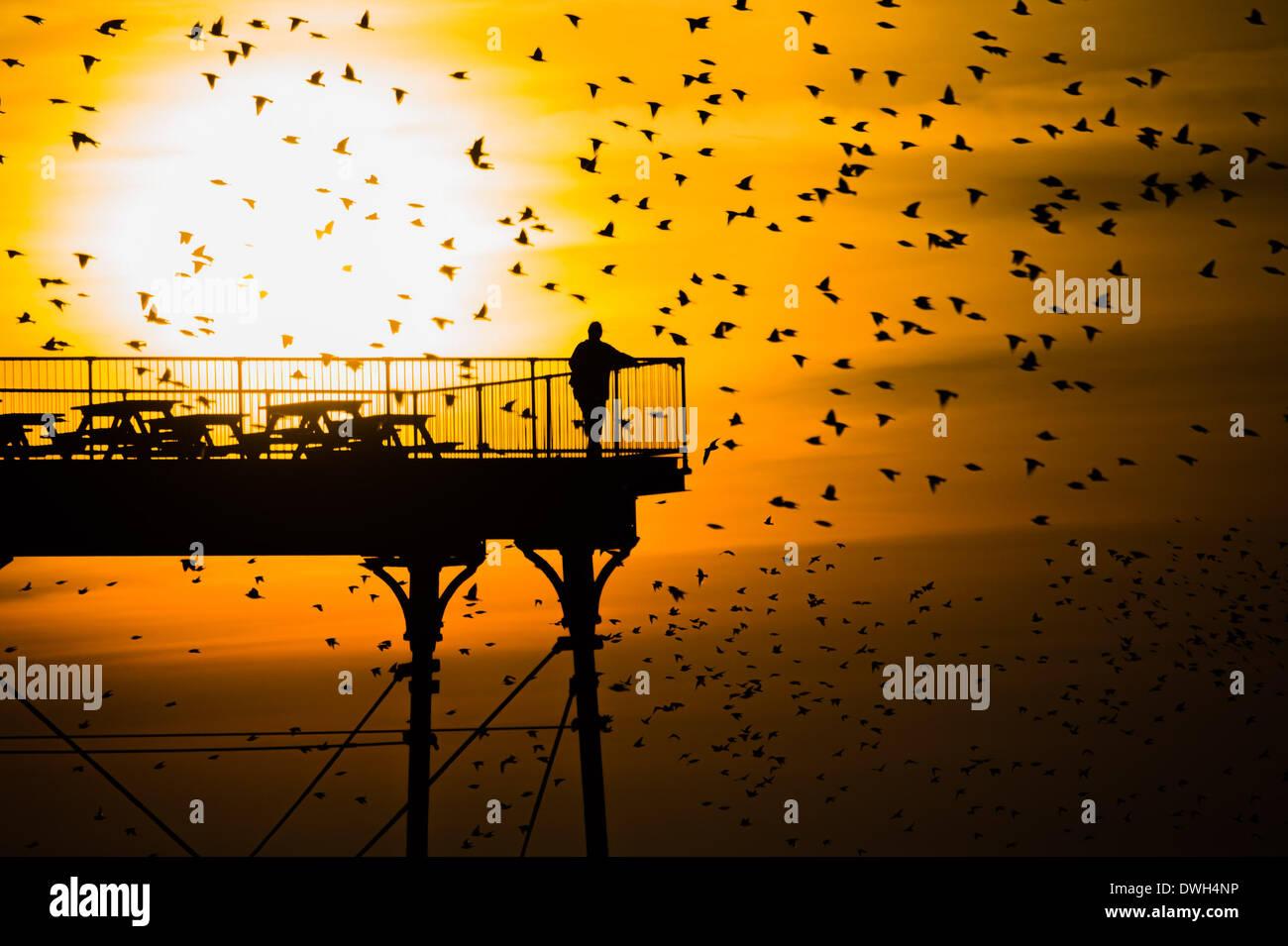 Aberystwyth, Pays de Galles, Royaume-Uni. 8 mars 2014. Les volées d'étourneaux volent en se percher sur les jambes de fer de fonte de la Victorian station jetée à Aberystwyth, sur la côte ouest du pays de Galles au Royaume-Uni. À la fin d'une chaude journée ensoleillée, avec des températures au Royaume-Uni pour atteindre 18C, les gens à la fin de la jetée apprécier le coucher du soleil sur la baie de Cardigan et le murmuration des oiseaux Crédit photo: Keith morris/Alamy Live News Banque D'Images
