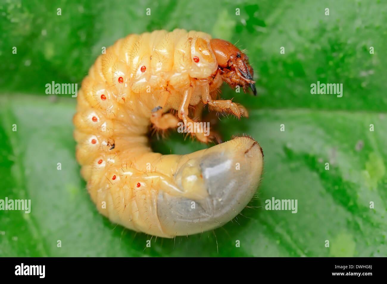 Catégorie: commun ou ne Bug (Melolontha melolontha), la larve, la Rhénanie du Nord-Westphalie, Allemagne Photo Stock