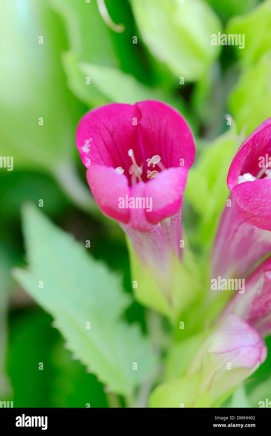 Gloxinia rampante ou Mexican Twist (Lophospermum purpusii, Asarina purpusii, Maurandya purpusii) Photo Stock