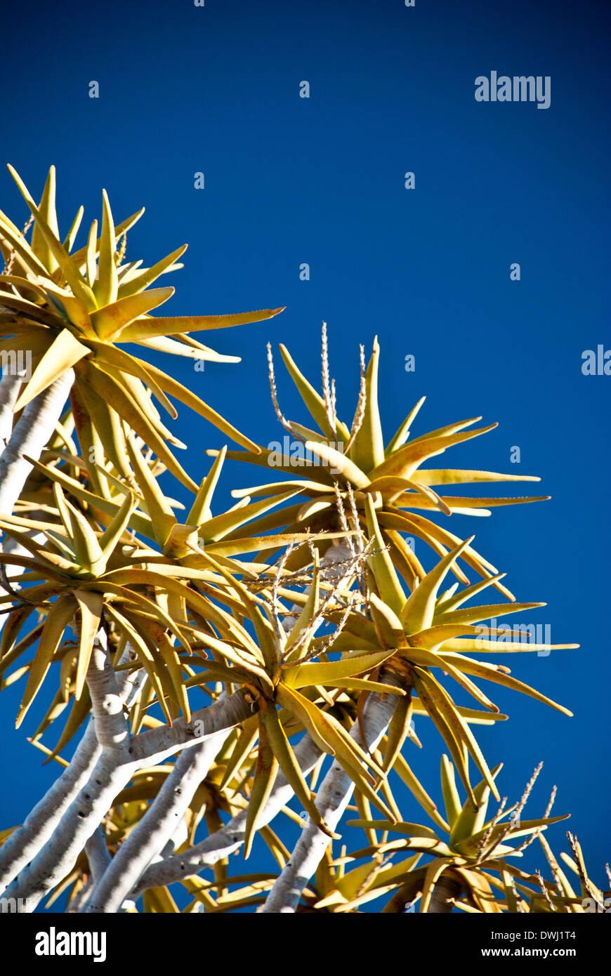 Close up de branches d'un arbre, carquois Kokerboom, Aloe dichotoma, Quiver Tree Forest, Keetmannshoop, la Namibie, l'Afrique de l'Ouest Photo Stock