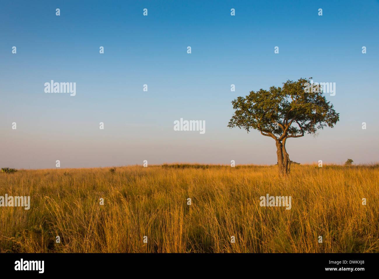 Lonely tree dans la savane du Parc National Murchison Falls, en Ouganda, en Afrique de l'Est, l'Afrique Photo Stock