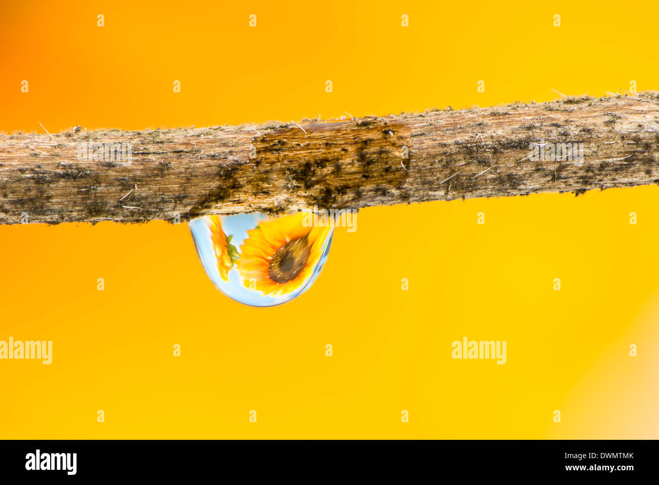 La réfraction dans une goutte de fleur Photo Stock