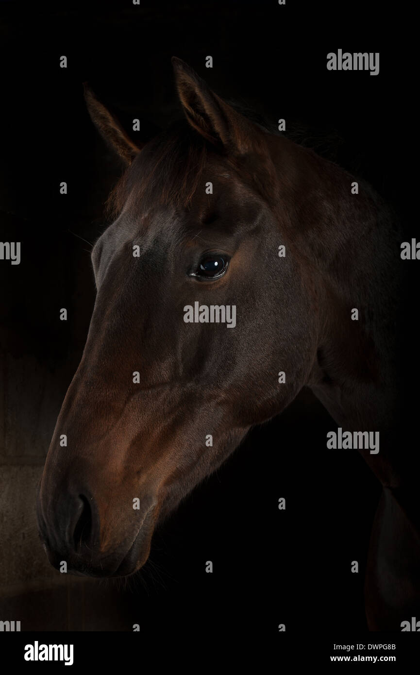 Bay horse fond noir Selle Francais x cross to thoroughbred horse equine equestrain Photo Stock