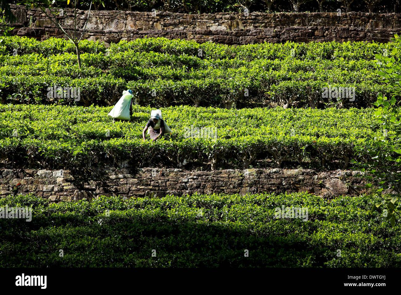 Les cueilleurs de thé feuilles épaisses à plantation dans Maskeliya, Sri Lanka Photo Stock