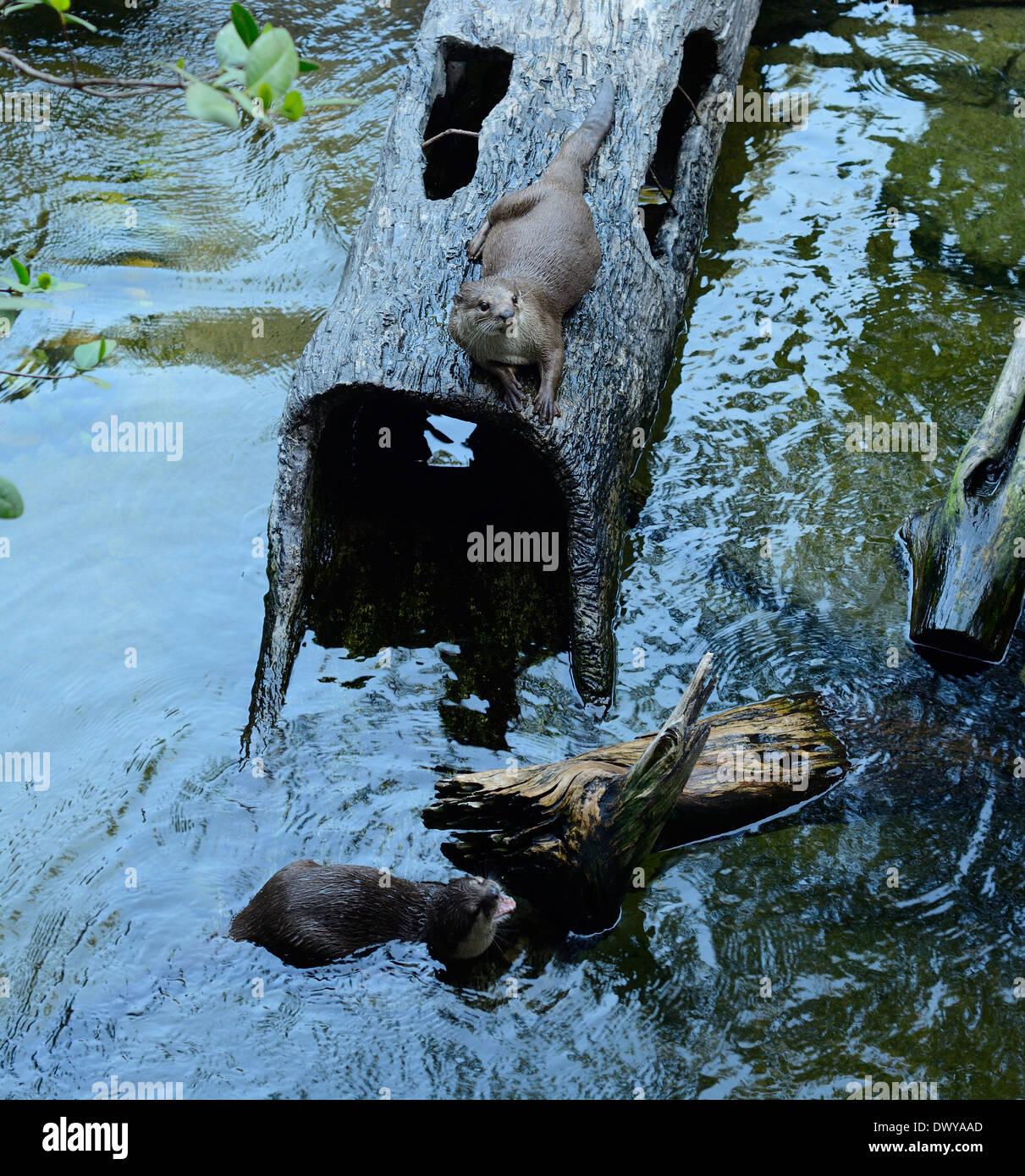 Belle à revêtement lisse Otter (Cerdocyon perspicillata) vivant dans la forêt thaïlandaise Banque D'Images