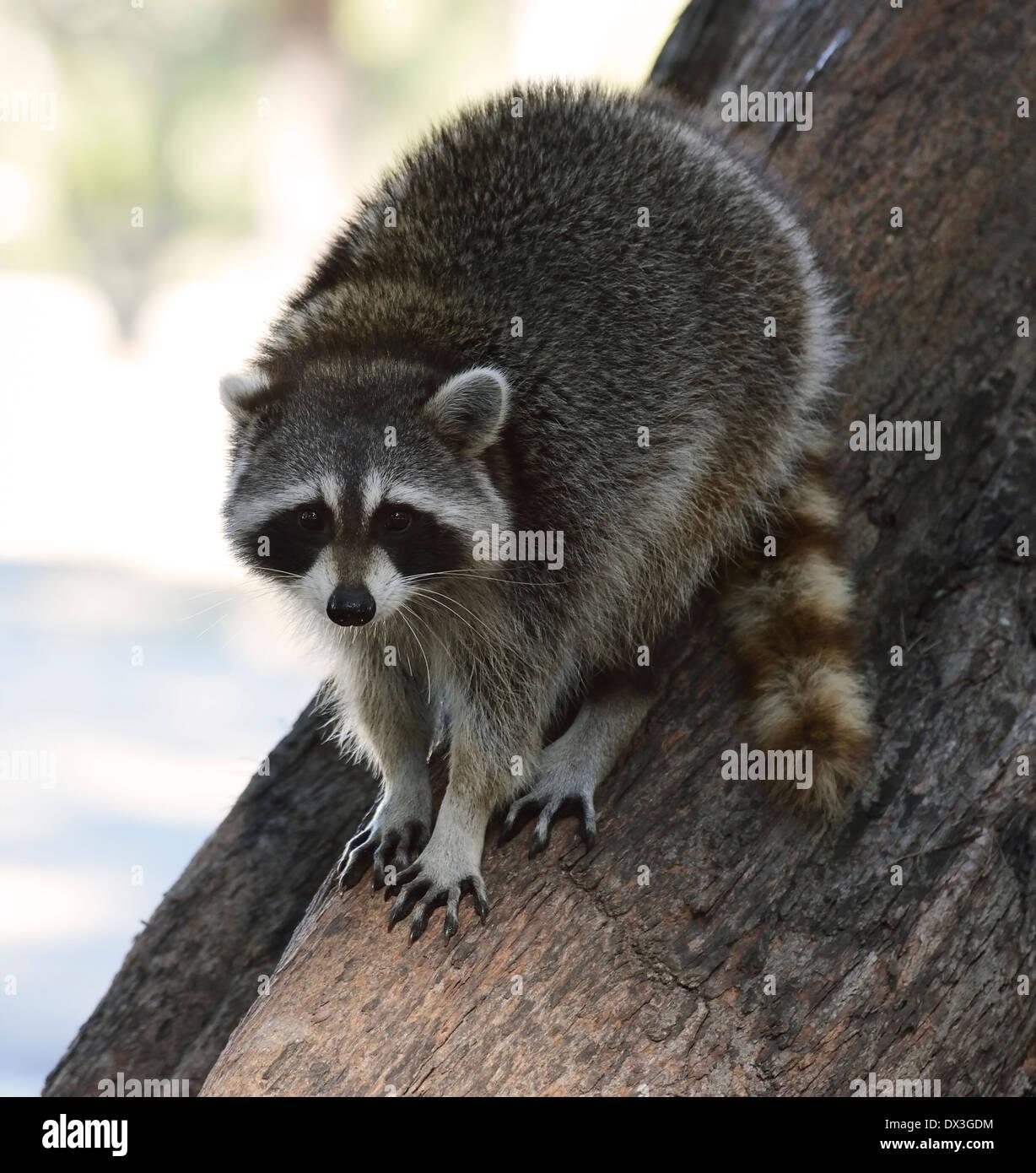 Les jeunes du Raton sur l'arbre dans le parc de Floride Photo Stock