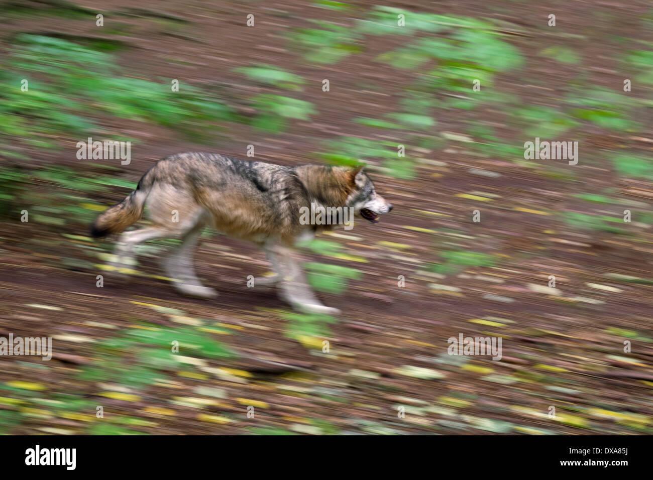 Loup eurasien (Canis lupus lupus) fonctionnant en montrant la forêt de flou Photo Stock