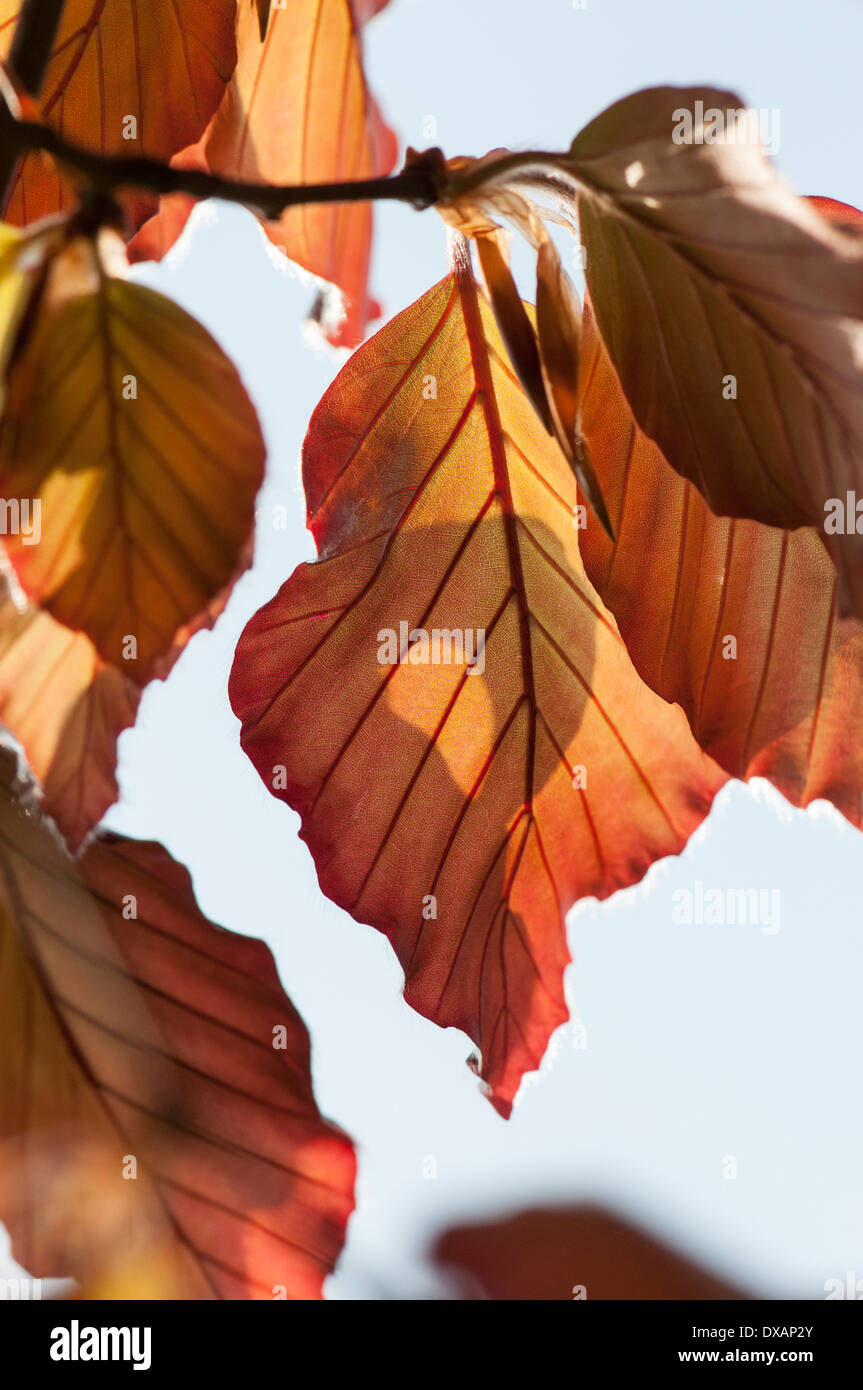 Hêtre , Copper beech, Fagus sylvatica purpurea, feuilles de couleur bronze sur l'arbre. Banque D'Images