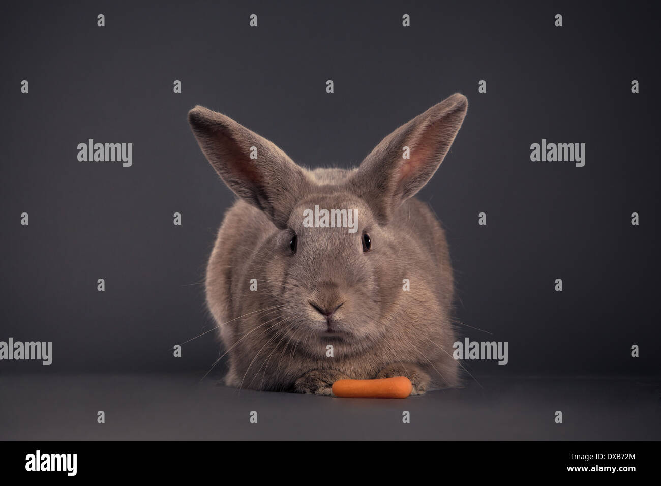 Caméra de lapin à la carotte. Photo Stock