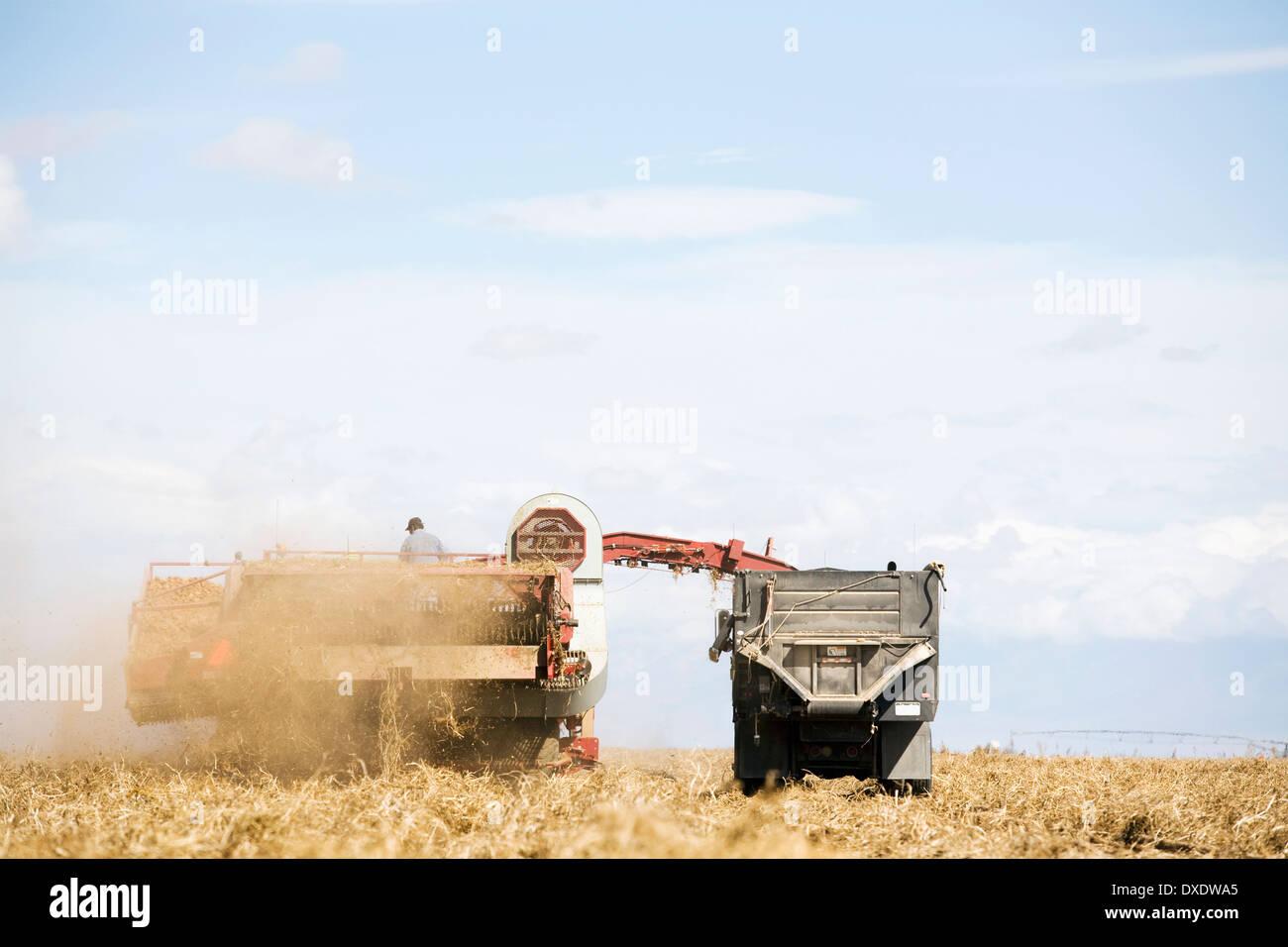 Récolte de pommes de terre, Colorado, USA Photo Stock