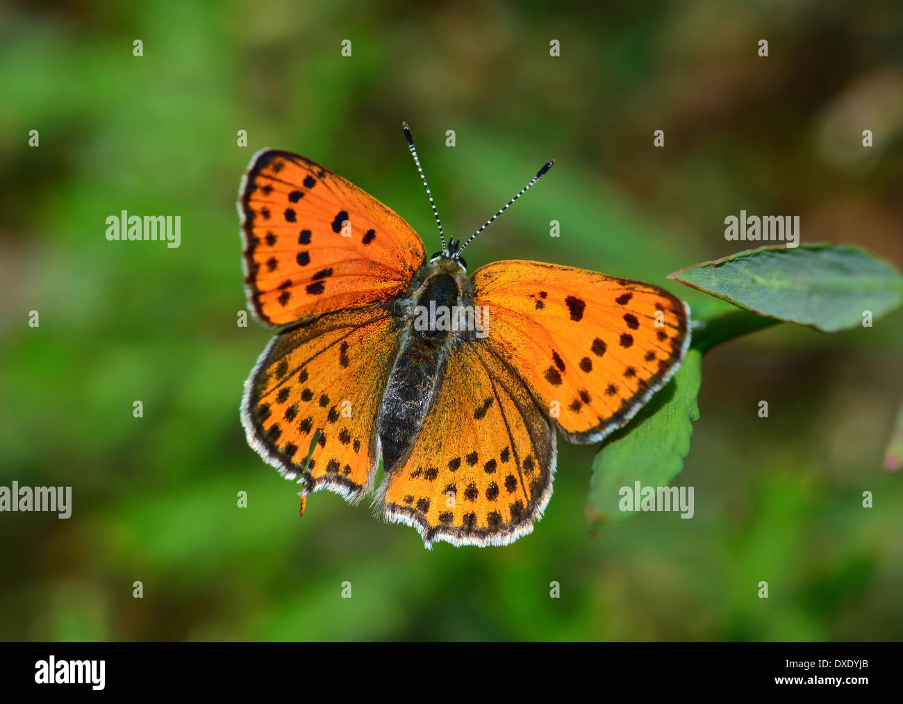 Fiery moindre Cuivre, Lycaena thersamon Photo Stock