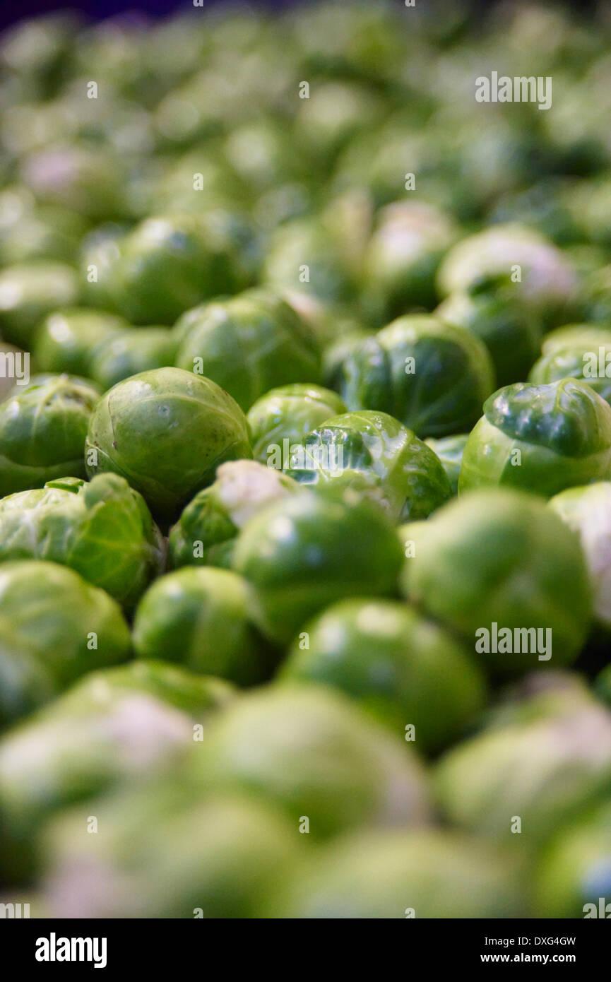 Image complète de récolter les choux de Bruxelles Photo Stock