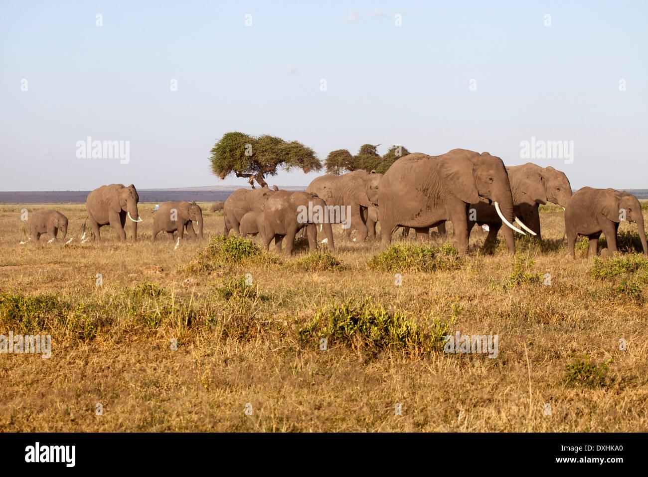 Troupeau de défenses des éléphants en mouvement Photo Stock