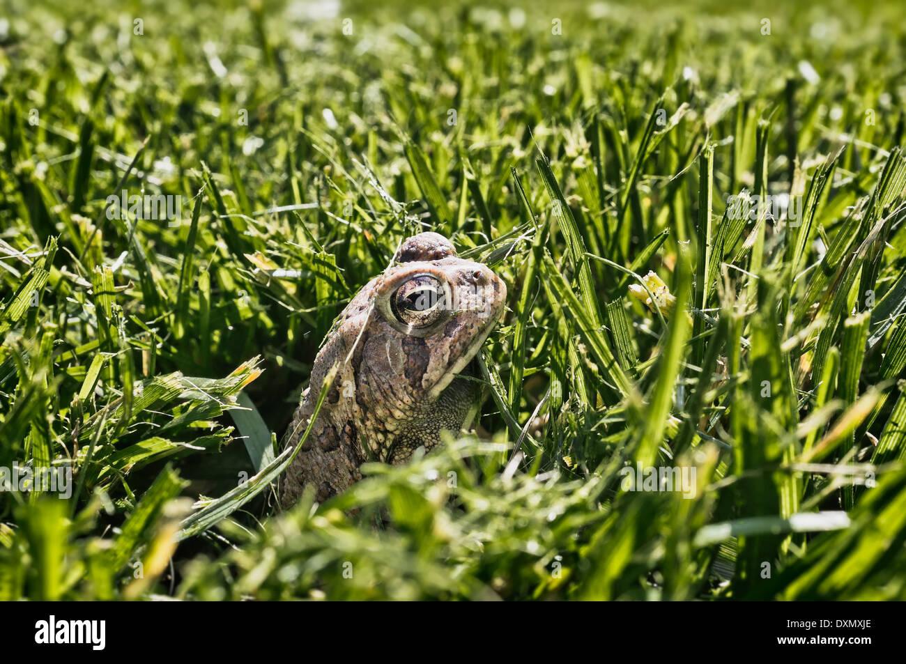 Toad atteint un sommet à partir d'herbe fraîchement coupée après avoir survécu à la tonte du gazon Photo Stock